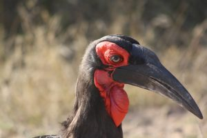 What an experience to hear the gorgeous Ground Hornbill move across the Timbitene Plain at dawn
