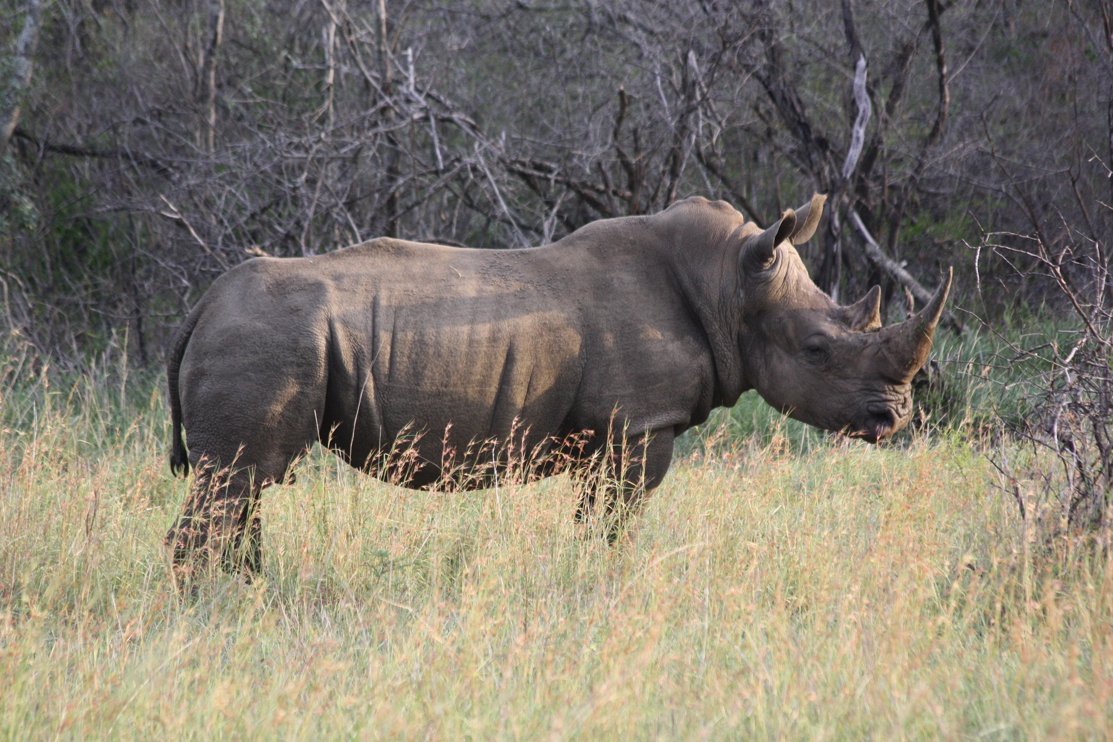 Western black rhinoceros poaching