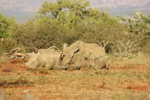I had tears in my eyes watching this mother and baby rhino napping safely in the morning sun