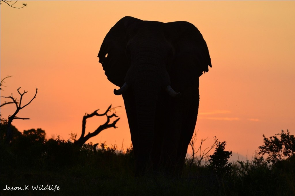 Photograph of elephant by Jason Kipling, Ranger, Rhino Ridge Safari Lodge