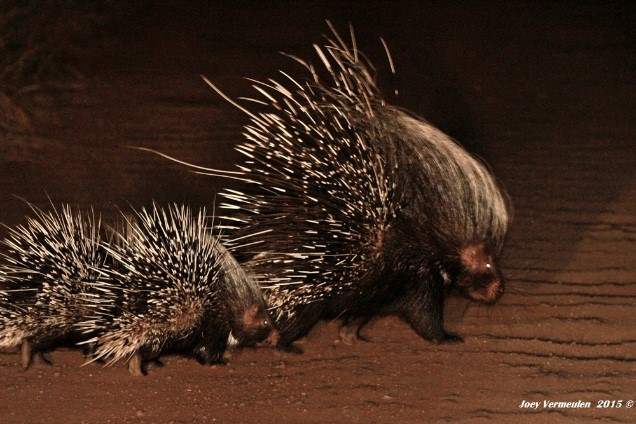 Rare sighting of porcupine and baby - photograph by Joey Vermeulen