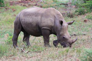Worth fighting for – Rhino baby