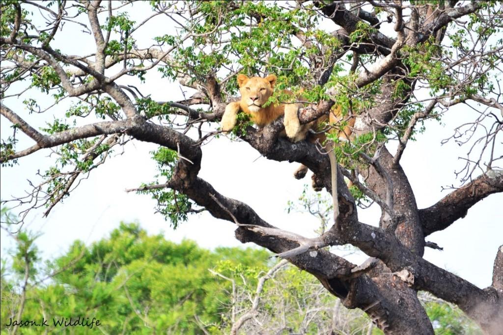 Jason April 2015 Lion in Tree