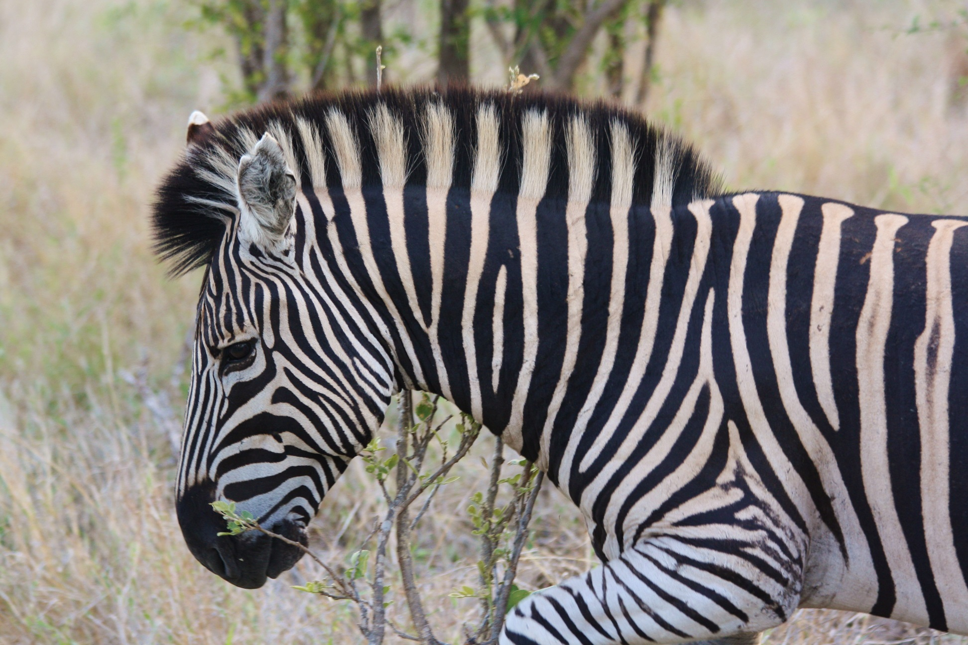 "A young zebra starts trotting to introduce a game of ""follow my leader"""