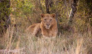 Lion photograph taken by Chris Laskey while visiting Rhino Ridge Safari Lodge in Hluhluwe