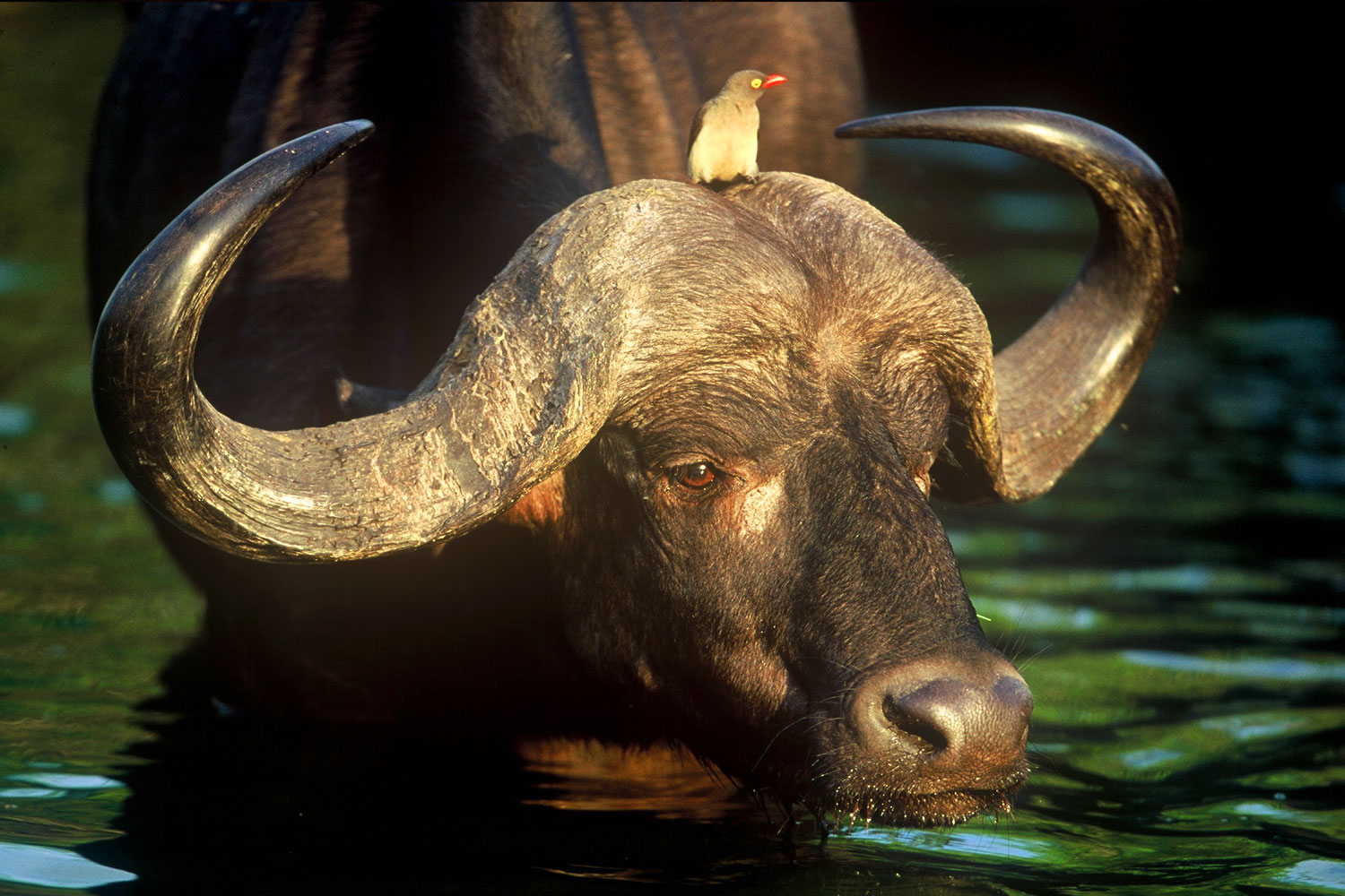 Buffalo And Ox Pecker