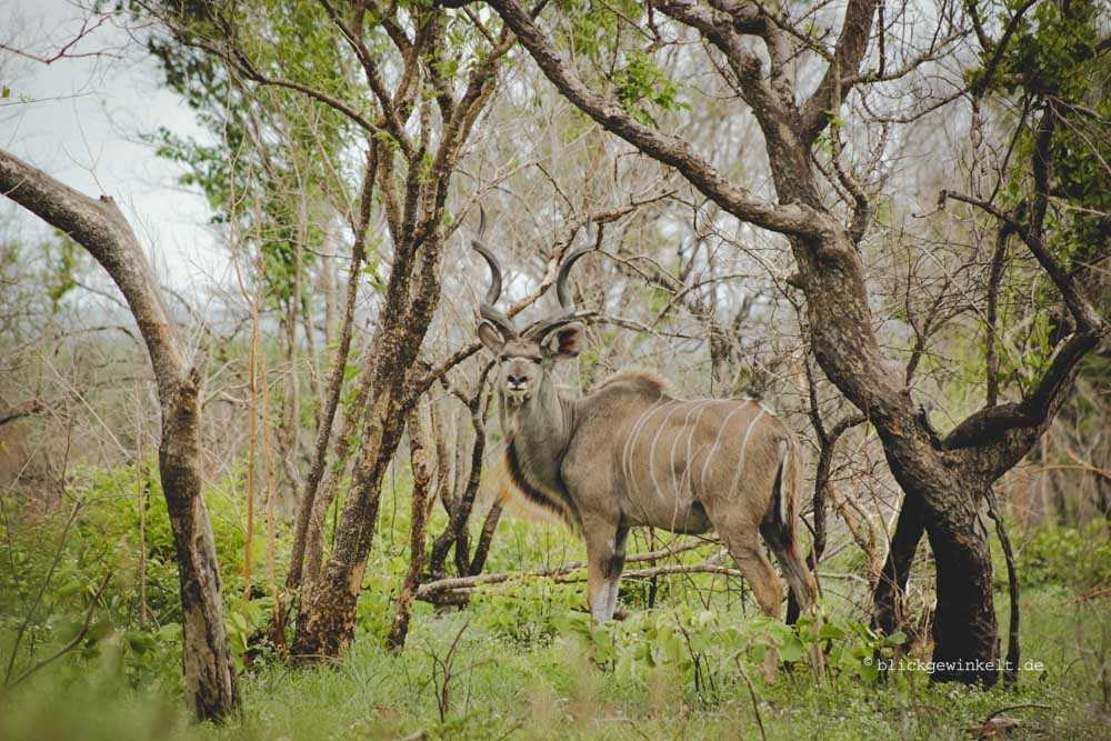 A master of camouflage - a male Kudu