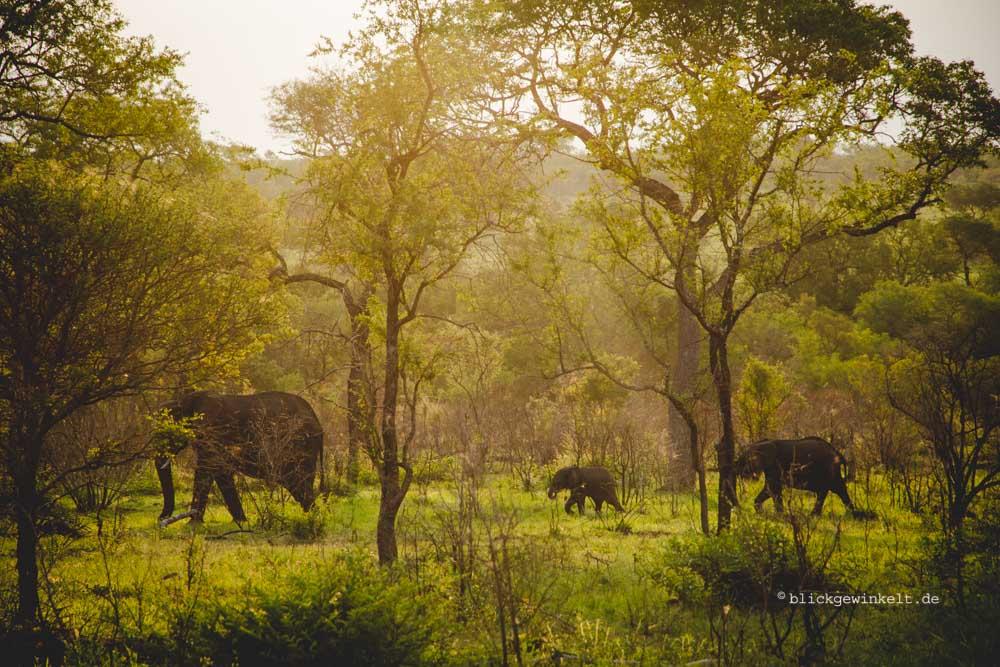 Elephant herd in the dusk