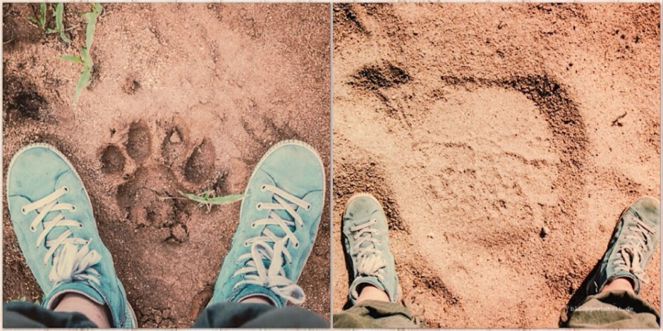 Footprints of lion and elephant - guess who's who?
