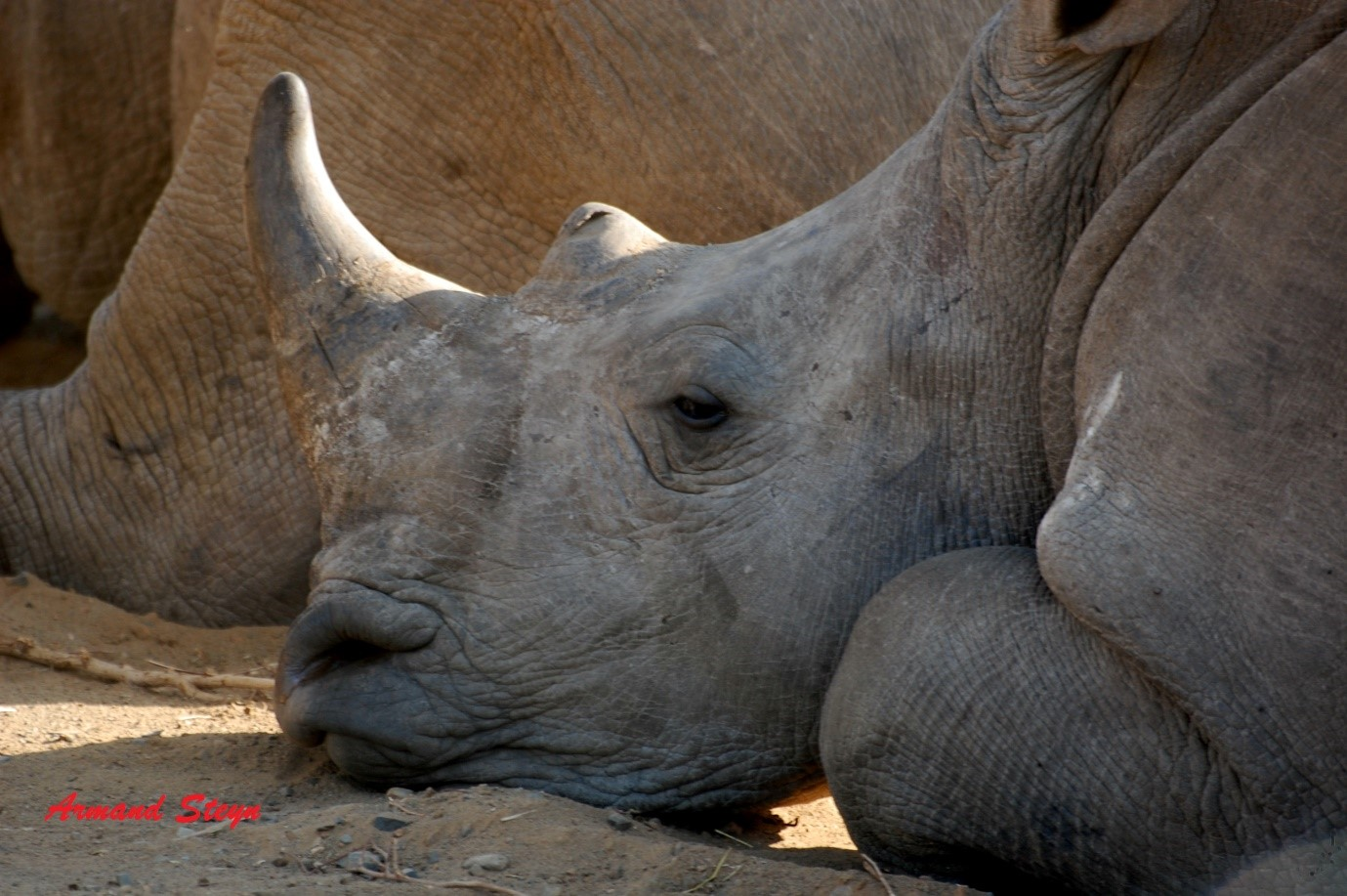 Rhino resting - photograph by ranger Armand Steyn