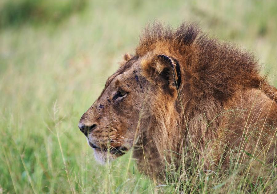 Male lion spotted from Rhino Post Safari Lodge