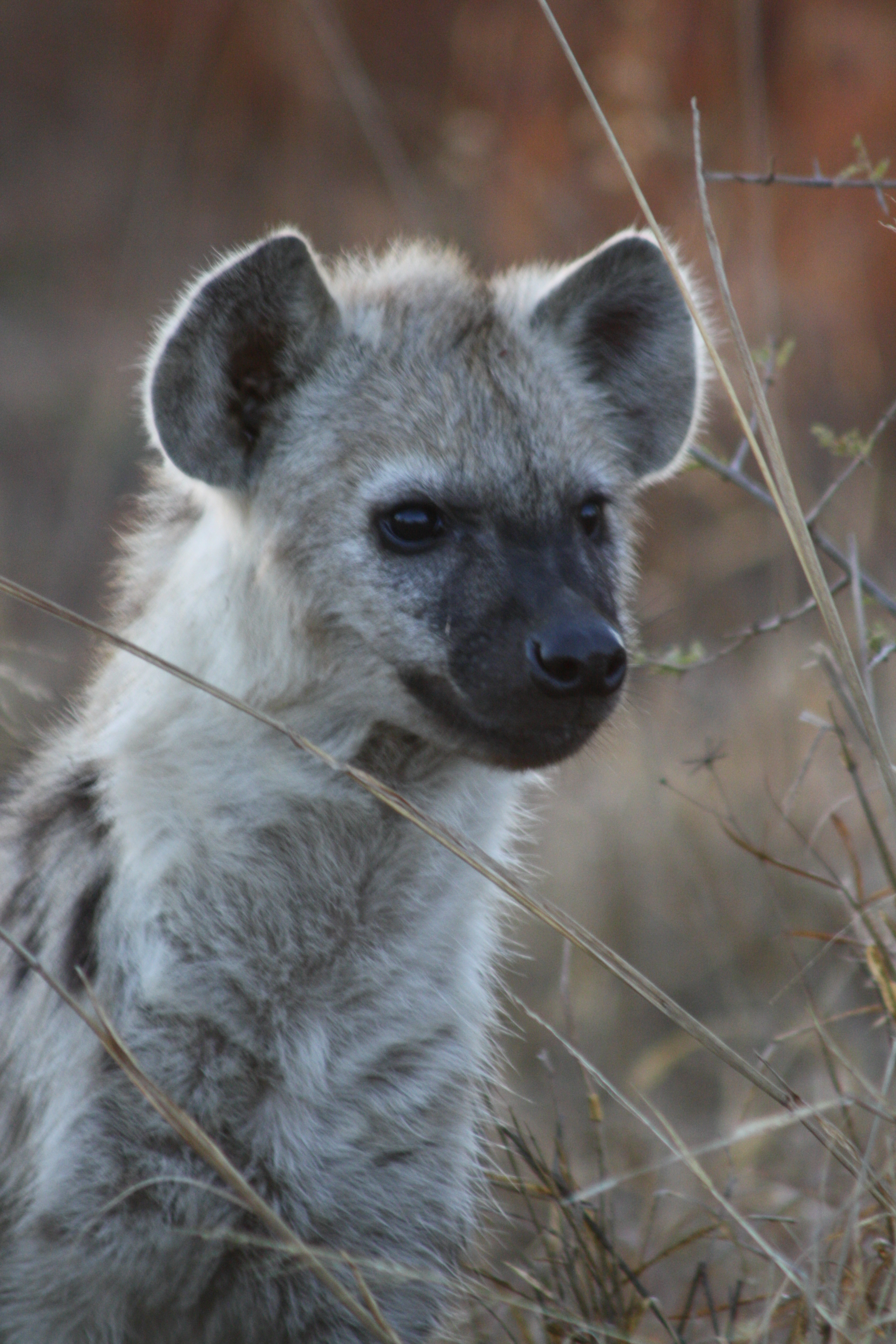 Hyena puppy - photograph by Berenice Meintjes