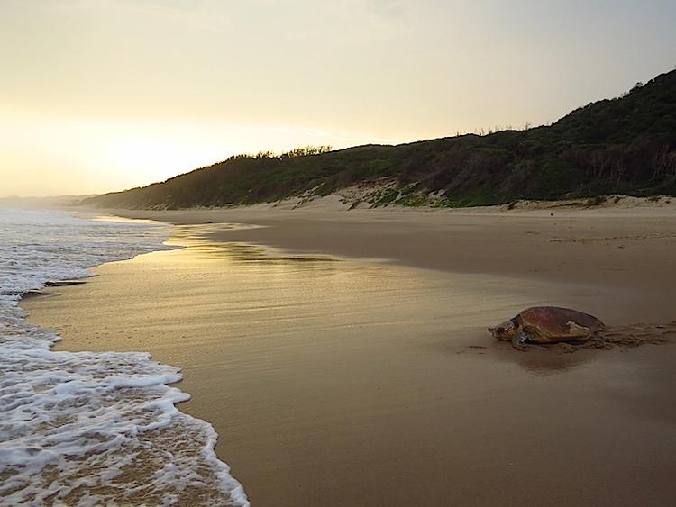 Turtle at Thonga Beach, Mabibi - photograph by Roger de la Harpe