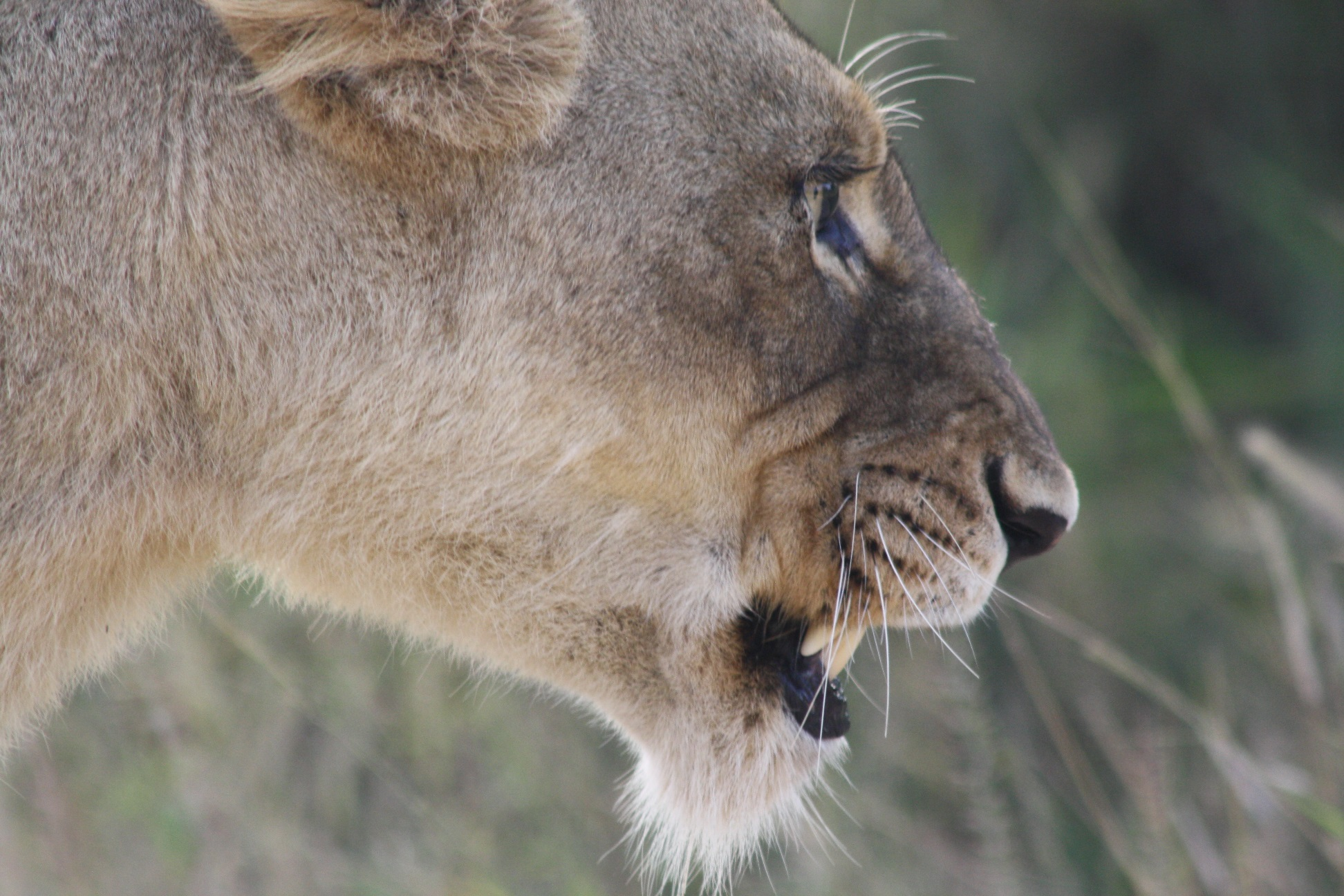 Lioness resized