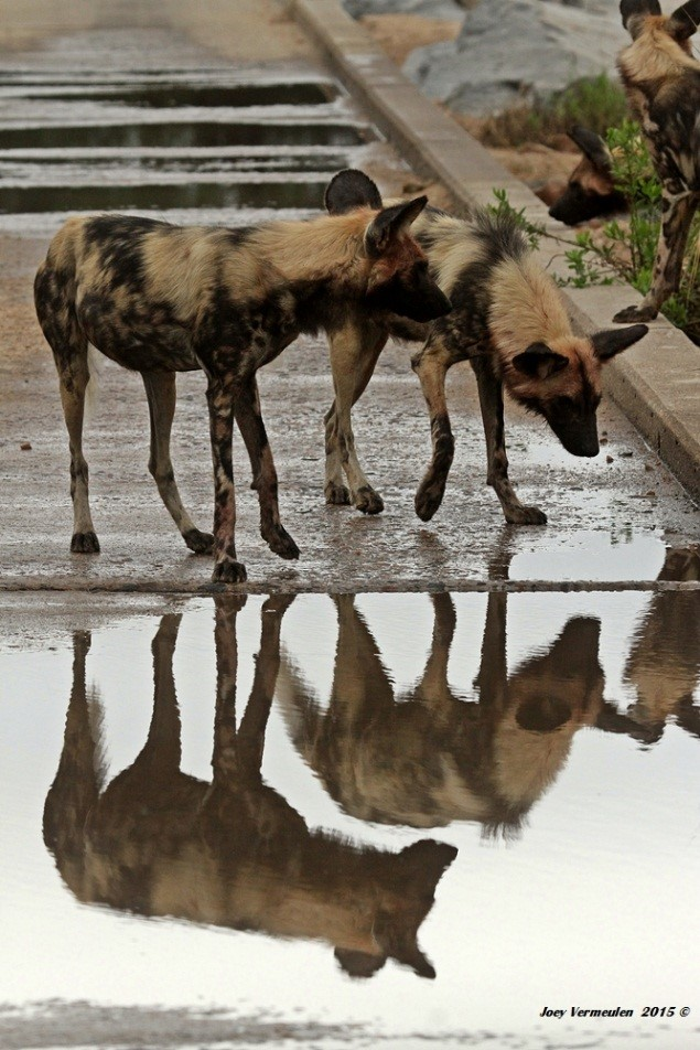 These wild dog, his favourite animals in the Park, were photographed by Joey