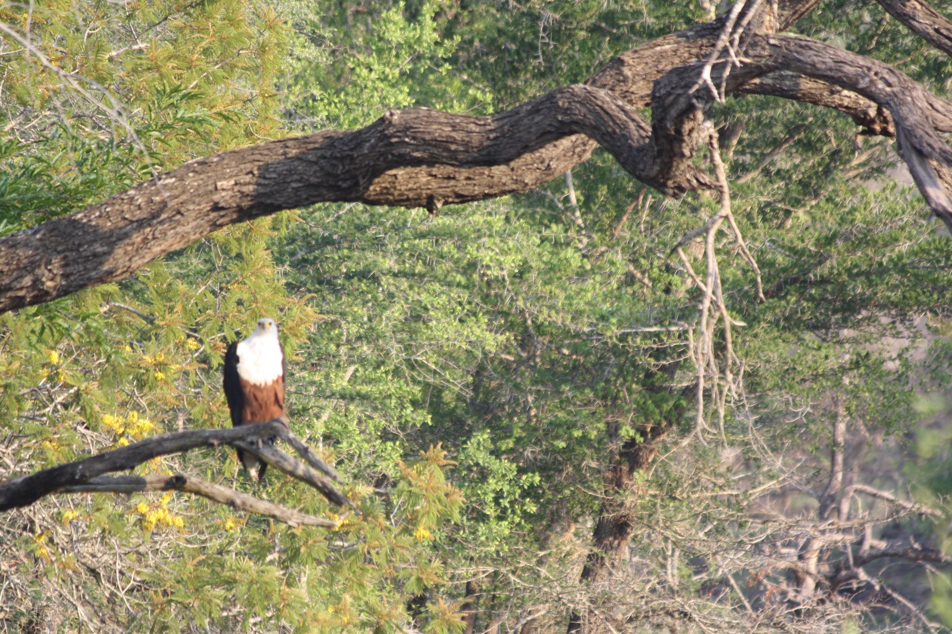 The majestic Fish Eagle