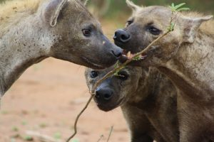 Hyena have creepy greeting rituals - here two clans meet
