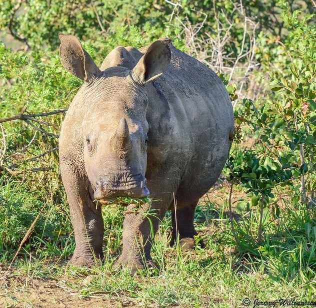 Far and Wild Safaris Rhino