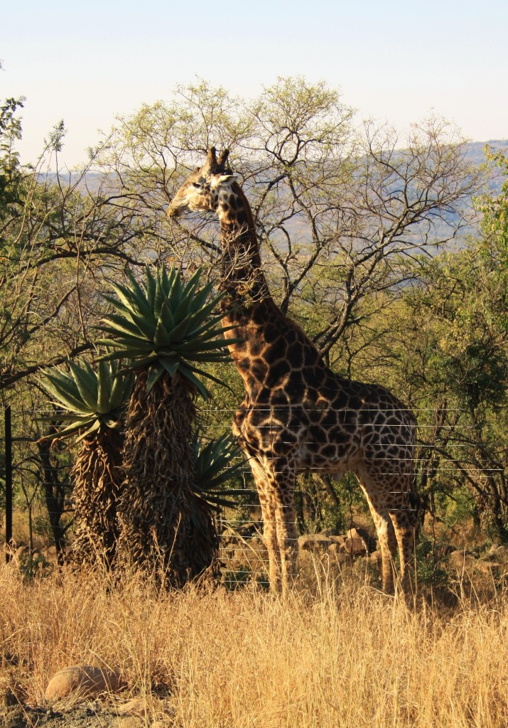 Roger the Giraffe at Isibindi Zulu Lodge Full