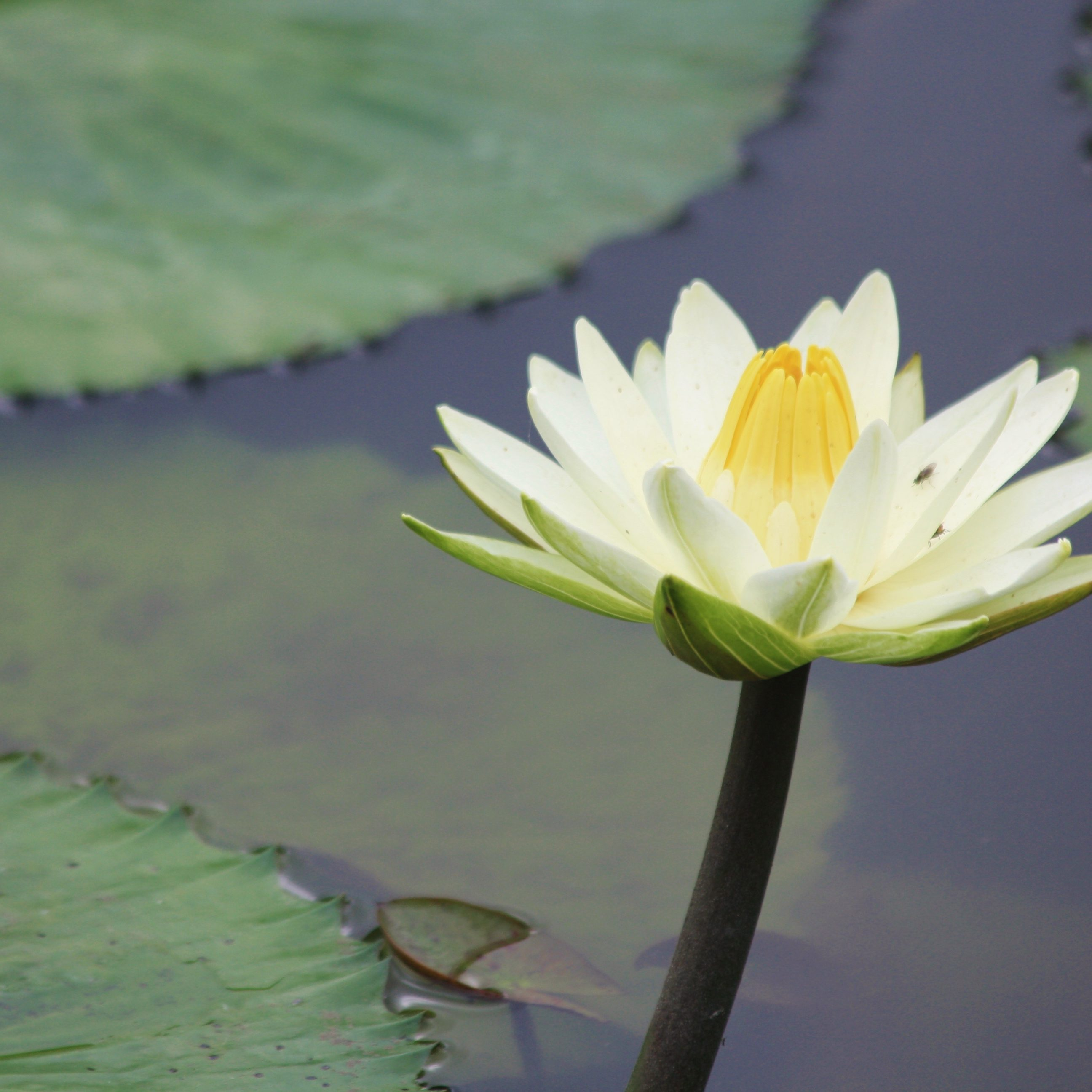 Water lily meditation blog