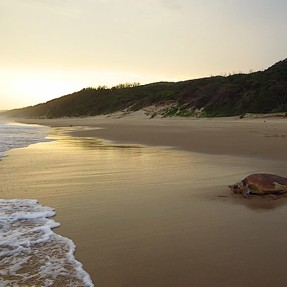 Turtle at Thonga Beach, Mabibi - photograph by Roger de la Harpe